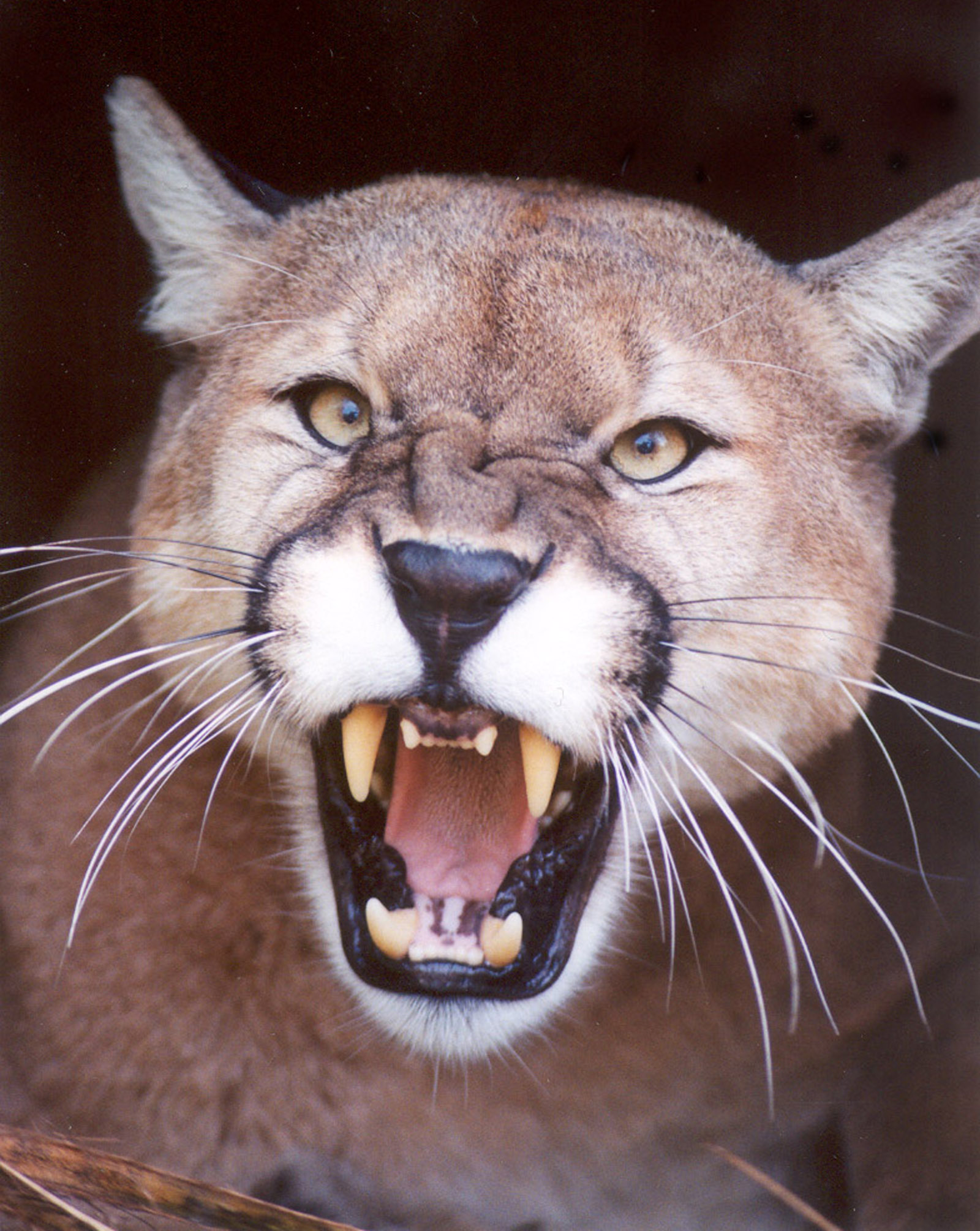 Mountain lion face - photo#22