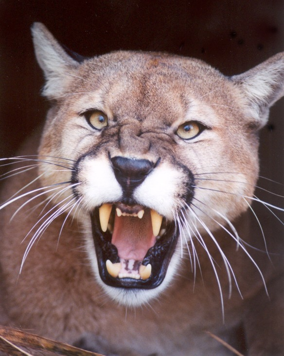 Cougar-Mountain Lion North American